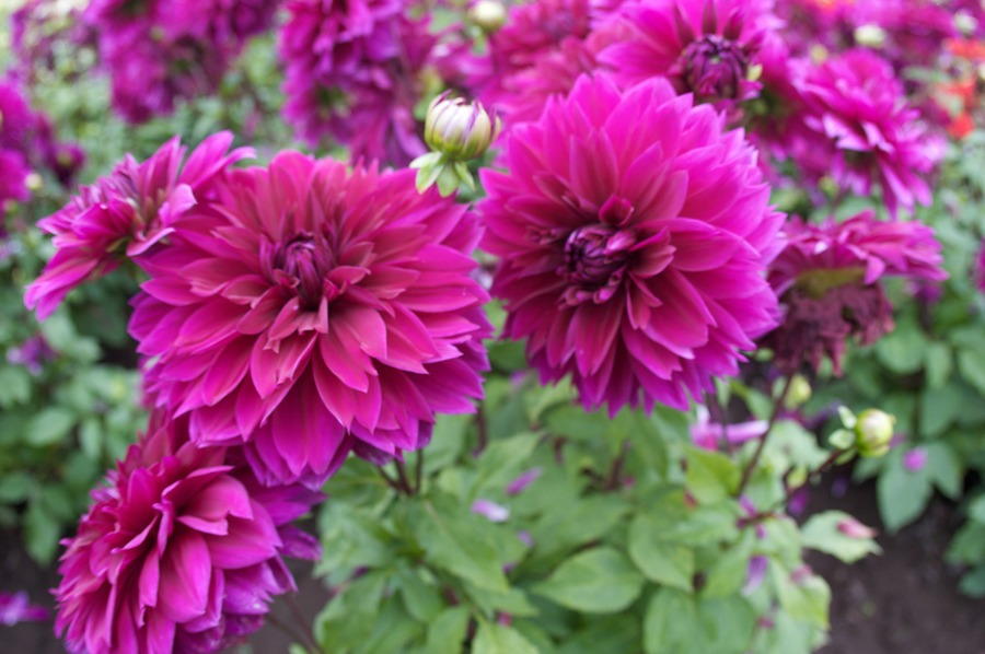 Dahlias_dahlia_thomas_edison-5.full