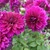Dahlias_dahlia_thomas_edison-5.small