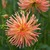 Dahlias_dahlia_tiki_torch-1.small