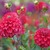 Dahlias_dahlia_too_sexy-1.small