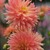 Dahlias_dahlia_tropic_sun-1.small