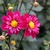 Dahlias_dahlia_very_berry-1.small