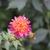 Dahlias_dahlia_wannabee-3.small