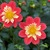 Dahlias_dahlia_wheels-1.small