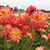 Dahlias_dahlia_wild_cat-1.small