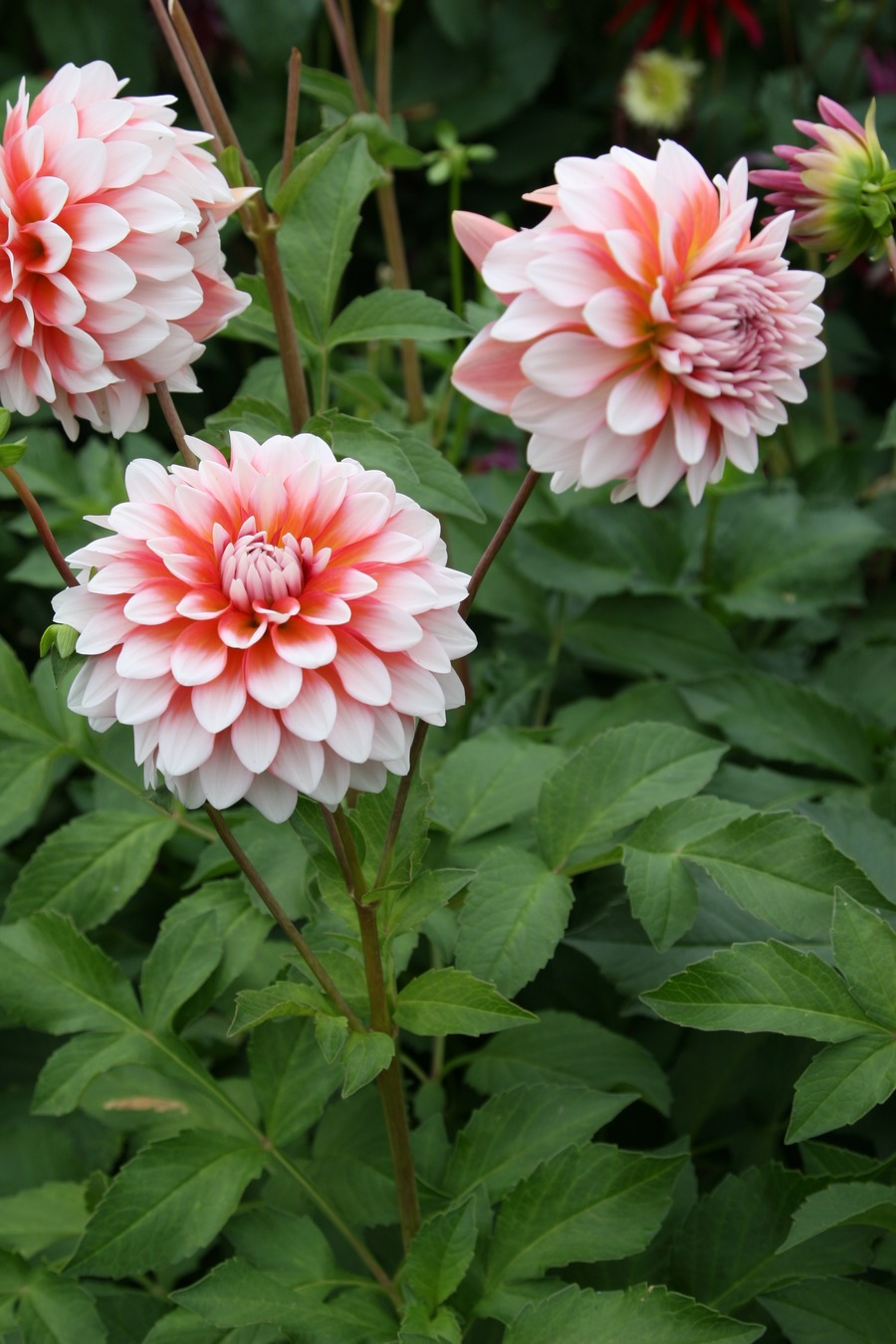Dahlias_dahlia_a_la_mode-1.full