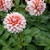 Dahlias_dahlia_a_la_mode-1.small