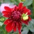 Dahlias_dahlia_american_beauty-1.small
