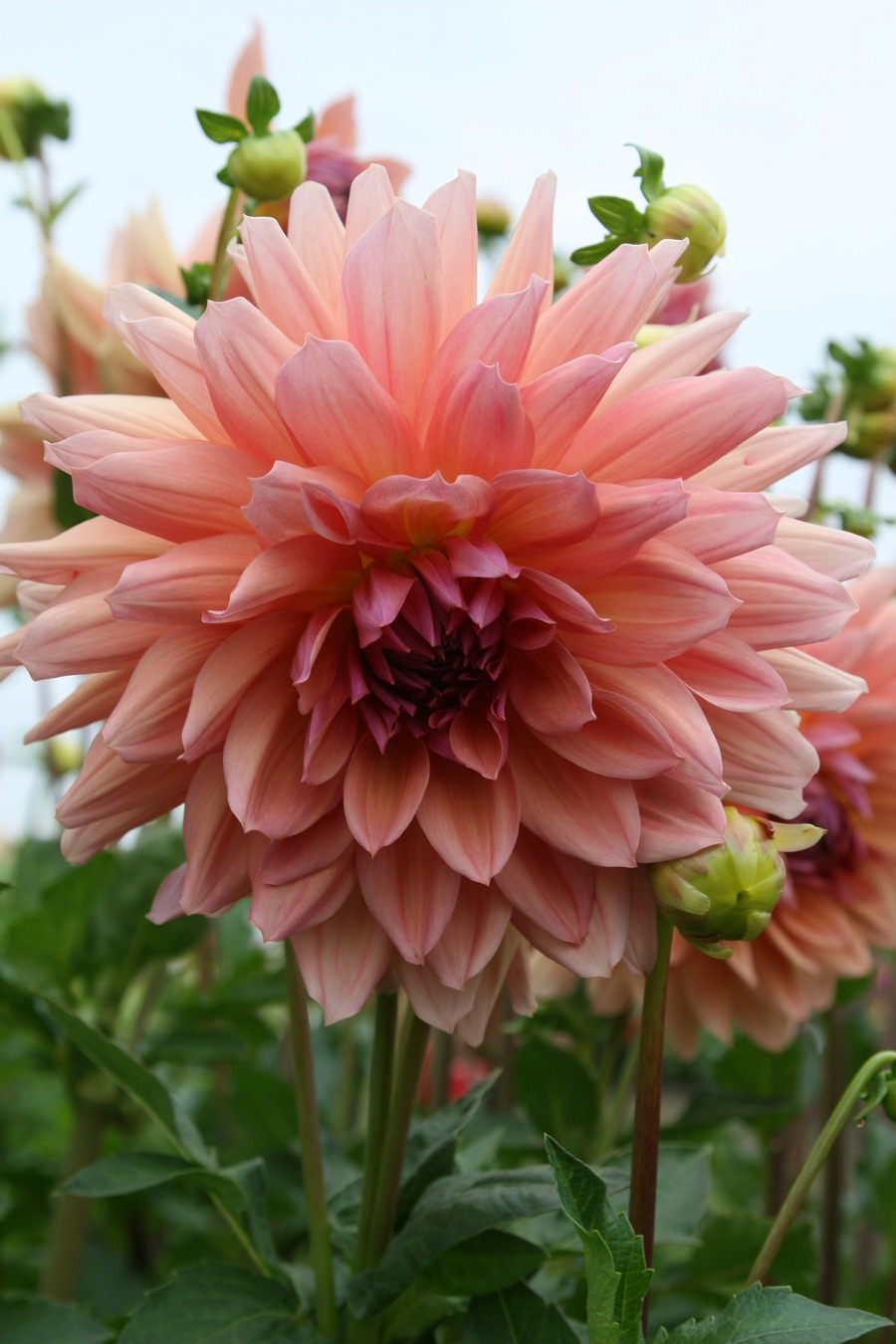 Dahlias_dahlia_baarn_bounty-2.full