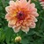Dahlias_dahlia_baarn_bounty-2.small