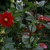 Dahlias_dahlia_baby_red-1.small