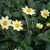 Dahlias_dahlia_baby_yellow-1.small