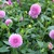 Dahlias_dahlia_betty_ann-1.small