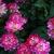 Dahlias_dahlia_binky-1.small