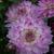 Dahlias_dahlia_bitsy-1.small