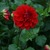 Dahlias_dahlia_border_choice-1.small