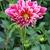 Dahlias_dahlia_canby_centennial-2.small