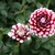Dahlias_dahlia_checkers-1.small