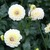 Dahlias_dahlia_cherish-1.small