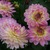 Dahlias_dahlia_china_doll-1.small