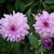 Dahlias_dahlia_cloudburst-1.small