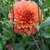 Dahlias_dahlia_clyde-1.small