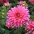 Dahlias_dahlia_coral_gypsy-2.small