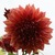 Dahlias_dahlia_croydon_masterpiece-1.small