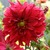 Dahlias_dahlia_envy-1.small