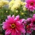 Dahlias_dahlia_fascination-1.small