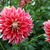 Dahlias_dahlia_freedom_fighter-2.small