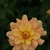 Dahlias_dahlia_ginger_snap-2.small