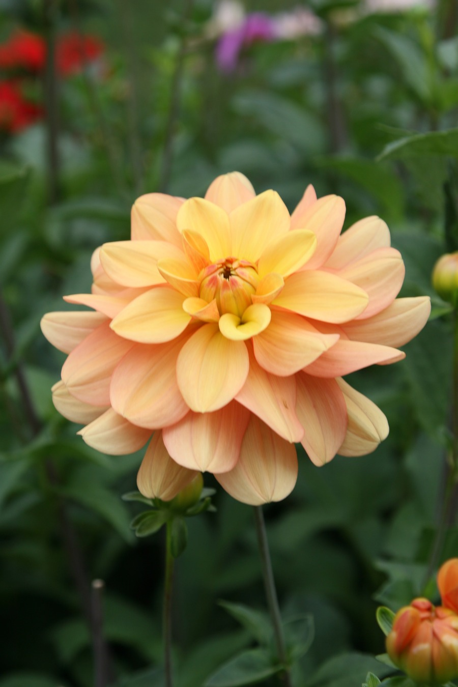 Dahlias_dahlia_ginger_snap-2.full