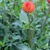 Dahlias_dahlia_ginger_willo-1.small