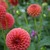 Dahlias_dahlia_gingeroo-1.small