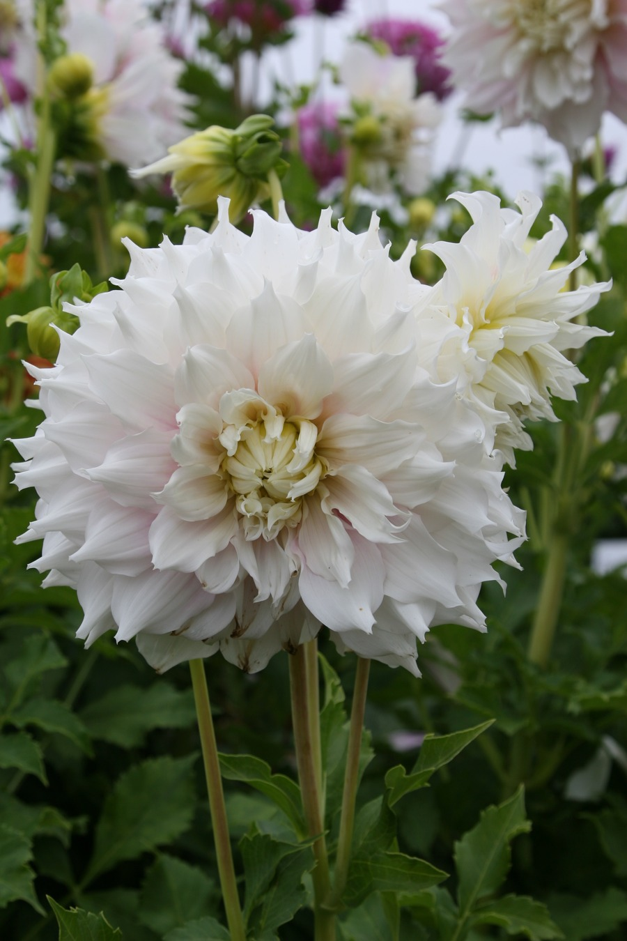 Dahlias_dahlia_gitts_perfection-2.full