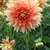 Dahlias_dahlia_gladiator-1.small