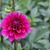 Dahlias_dahlia_gonzo_grape-1.small