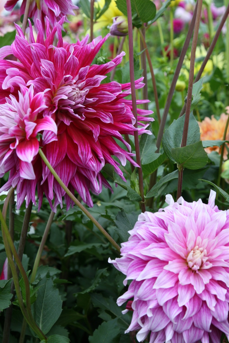 Dahlias_dahlia_grand_finale-2.full