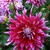 Dahlias_dahlia_grand_finale-2.small
