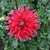 Dahlias_dahlia_gregory_stephan-1.small