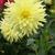 Dahlias_dahlia_happy_face-3.small
