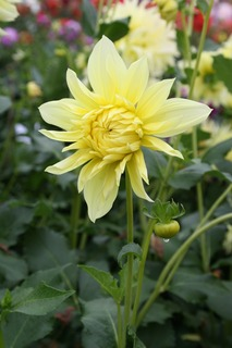 Dahlia 'Harvest Moonlight'