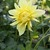 Dahlias_dahlia_harvest_moonlight-1.small