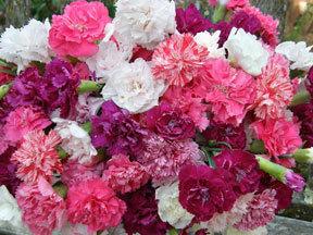 Perennials_dianthus_caryophyllus_enfant_de_nice.full