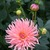 Dahlias_dahlia_heather_marie-1.small