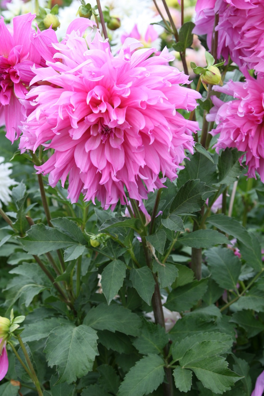 Dahlias_dahlia_helen_richmond-1.full