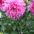 Dahlias_dahlia_helen_richmond-1.small