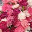 Perennials_dianthus_caryophyllus_enfant_de_nice-2.thumb