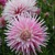 Dahlias_dahlia_hollyhill_quintessence-2.small